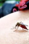 Țânțarii pot transmite boli grave