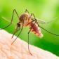 Țănțarii pot transmite boli grave