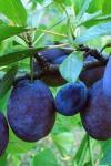 Cum putem folosi prunele în tulburările digestive