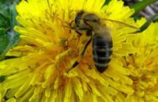 Utilizarea abuziva a pesticidelor : Genocidul albinelor romanesti