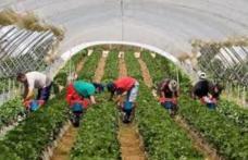 Nu ai un loc de muncă? AJOFM Botoșani oferă aproximativ 400 locuri de muncă în Portugalia la cules zmeură!