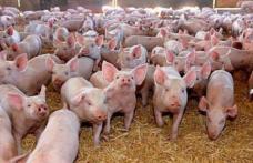 În atenția fermierilor care cer sprijin financiar pentru a achiziționa rase de porci