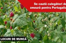 300 locuri de muncă în domeniul agricol (recoltare zmeură) în Portugalia