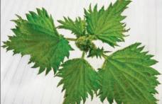 Urzica, planta medicinala de mii de ani