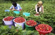 60 de locuri de muncă în Danemarca, la cules căpșuni și mazăre. Vezi cât se oferă!