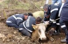 Misiune dificilă : Bovină căzută într-o groapă, salvată de pompieri