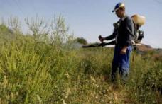 Amenzi usturătoare pentru proprietarii sau deținătorii de terenuri care nu curăță ambrozia