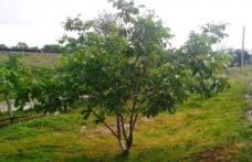 ATENȚIE la pomii care se pot tăia doar cu autorizaţie. Amendă de peste 2.000 de euro