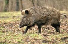 Dosar penal pentru un bărbat care a hăituit și ucis un porc mistreț cu ajutorul a patru câini