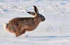 Patru botoșăneni s-au ales cu dosar penal după ce au ucis doi iepuri de câmp