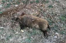 Alertă! Virusul pestei porcine africane depistat pe un fond de vânătoare din Suharău