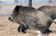 Măsură extremă! Toți porcii mistreți de pe fondul de vânătoare din Ibănești vor fi uciși