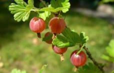 Acest fruct are de 20 de ori mai multă vitamina C decât portocalele. Beneficiile lui sunt uimitoare