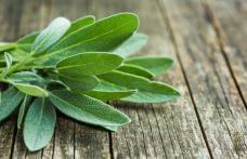 Salvia pură ajută la slăbit
