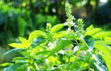 Planta care luptă cu depresia, astmul și previne infarctul