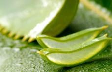 Beneficiile plantei aloe vera: bună de pus pe rană