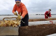 Mai mulţi români plecaţi la cules de sparanghel în Germania au dispărut. Poliţia îi caută