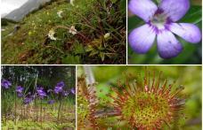 PLANTE CARNIVORE - Expoziție în mediul online organizată de Muzeul de Științele Naturii Dorohoi – VIDEO / FOTO