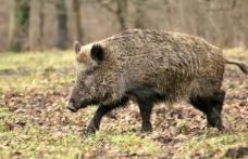 Botoșani: Virusul Pestei Porcine Africane depistat la un număr de 11 mistreți găsiți morți pe un fond de vânătoare din județ