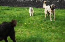 Bărbat din Coțușca sancționat de jandarmi după ce câinii lui au atacat un vițel aflat la păscut - VIDEO