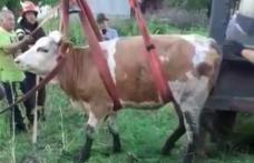 Vacă rămasă captivă într-o fosă dezafectată salvată de pompieri