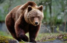 Guvernul a adoptat ordonanța de urgență prin care urșii agresivi pot fi împușcați