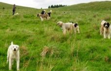 Cioban sancționat de jandarmi pentru că avea prea mulți câini la stână