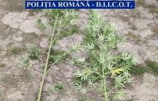 Botoșănean arestat preventiv pentru trafic de droguri de risc. Cultiva cannabis în grădina locuinței- FOTO