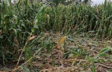 Mistreții distrug munca agricultorilor botoșăneni și nimeni nu ia măsuri pentru a stopa acest lucru! - FOTO