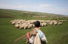 Bătaie între ciobani, pentru revendicarea unui imaş la Săveni