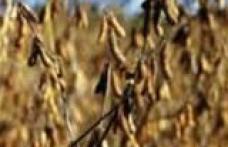 [VIDEO] La Corlăteni a fost descoperita o cultura ilegală cu soia modificată gene