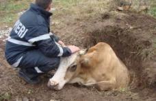 Vacă salvată dintr-o mlaştină de pompieri