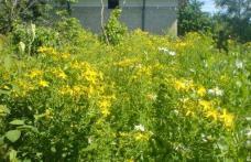 Plante medicinale bune pentru indigestie