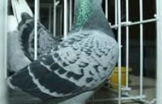 Muzeul de Stiinte ale Naturii Dorohoi organizeaza expozitie de porumbei