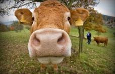 Chinezii au creat vaci modificate genetic