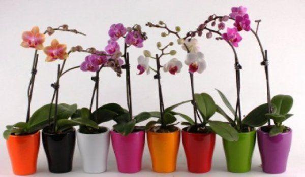orhideea