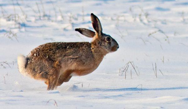 vanatoare de iepuri