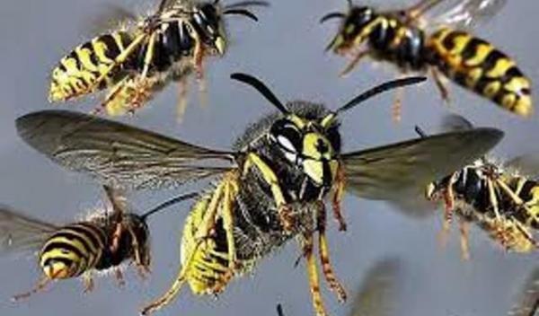 Roi viespi